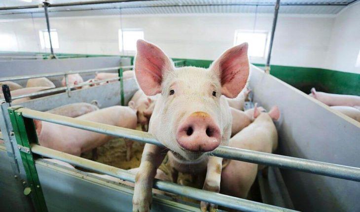 КС требует уточнить нормы, позволившие изъять свиней без компенсации